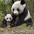 """貓熊panda~超""""口""""愛"""