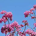 向日葵與洋紅風鈴木