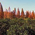 新竹橫山落羽松林