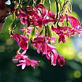 洋紅風鈴木與螃蟹蘭
