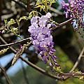 新埔上樟樹路一段451巷3號賞黃花風鈴木與紫藤
