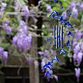 粗坑窯紫藤花開了