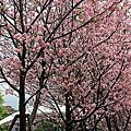 土城希望之河櫻花盛開了