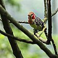 紅黃擬啄木