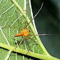 刺佳蛛、五紋鬼蛛、人面蜘蛛