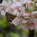 大漁櫻與綠繡眼