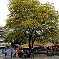加羅林魚木