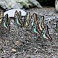 青斑鳳蝶與青帶鳳蝶