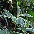 美麗的薑科植物