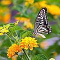 美麗的鳳蝶