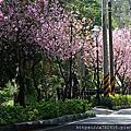 福山宮櫻花步道賞香水櫻