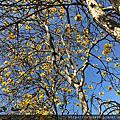 巨埔農場黃花風鈴木