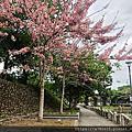 新竹關西東安古橋下 . 驚艷桃紅陣雨樹(花旗木)