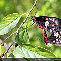 黃裳鳳蝶與紅紋鳳蝶