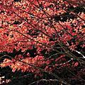 南投杉林溪~楓葉恣意狂妄的鮮紅