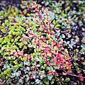 格陵蘭植物花卉
