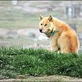 格陵蘭雪橇犬
