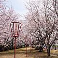 春日賞櫻~琴浦町鳥取牧場