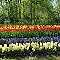阿姆斯特丹-庫肯霍夫花園,風車村