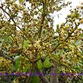 玉荷包荔枝園-1000302