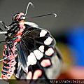 紅紋鳳蝶2011