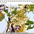 2012 04 04 新北市.淡水.大屯里.紫藤咖啡園.白色紫藤花