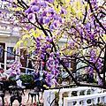 2014 03 新北市.淡水.大屯里.紫藤咖啡園.紫色紫藤花(二)