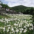2014 05 台北.內湖.白石湖.野百合