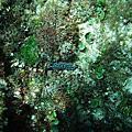 小琉球海裡的生態