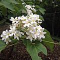新竹縣湖口油桐花季