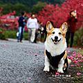 2014牛鬥賞櫻照