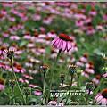 2018-紫錐菊(花)