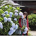 2018-赤柯山繡球花