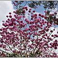 2020-洋紅風鈴木