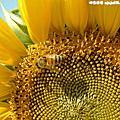 蜜蜂與向日葵桌布