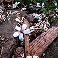 2009-05-08 小粗坑油桐花