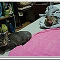 2012/06/19[貓記]手機APP-Cat Piano貓叫的效果