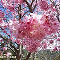 20130213武陵賞花