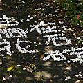 20120505 北宜尋桐花