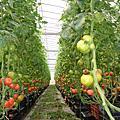 關西採番茄