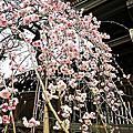 湯島天神梅祭