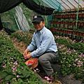 內湖採草莓