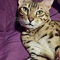 已售出熱帶草原貓~ Sold savannah cats