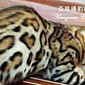 公豹貓 studs