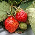 2011.2.12 大湖採草莓