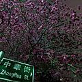 1030208_大屯里的櫻花