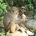 大坑台灣獼猴