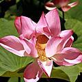 2009.07.12 三芝南瓜、蓮花