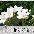 賞花〔土城 桐花公園〕