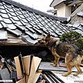 向「廢墟天使」搜救犬 致敬!